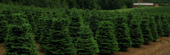 Christmas Tree Farms in and around Fairfield County, CT | Kids Out ...